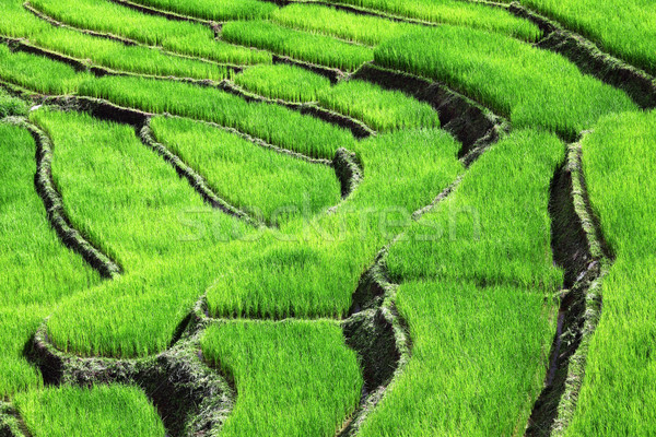 Rijstveld afbeelding klassiek asian veld groene Stockfoto © tiero