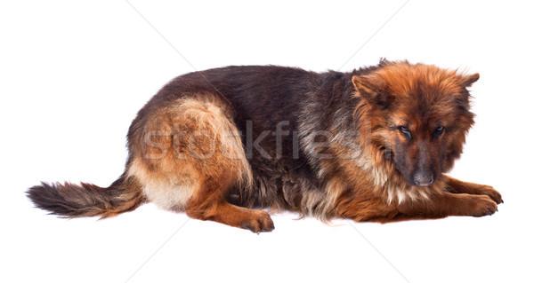 german shepherd long fur Stock photo © tiero