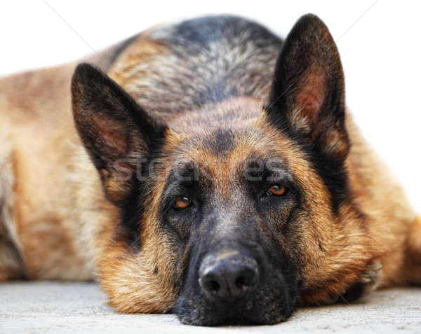 german sheppard Stock photo © tiero