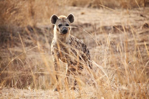 Hyäne Porträt Park Sambia Natur Afrika Stock foto © tiero