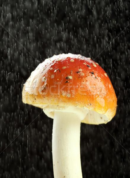 Amanita muscaria in the rain Stock photo © tiero