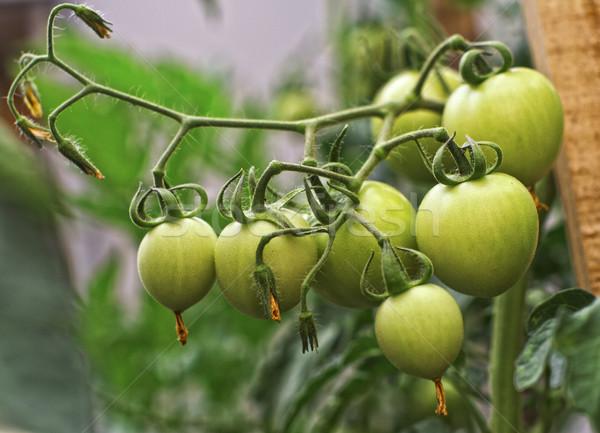 green tomatos Stock photo © tiero