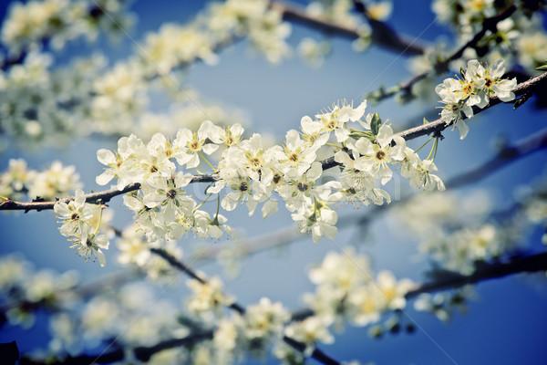 Kiraz çiçeği çiçek mavi gökyüzü gökyüzü doğa arka plan Stok fotoğraf © tiero