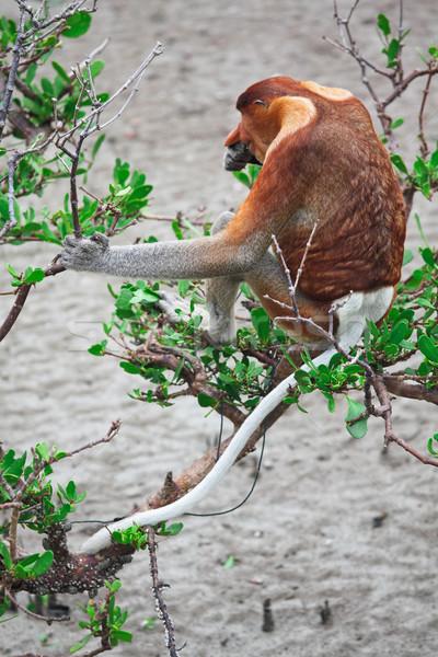 proboscis monkey long nosed Stock photo © tiero