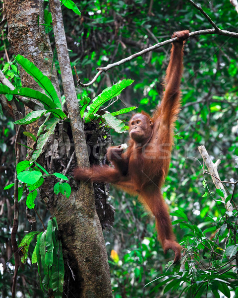 orangutanf in rainforest Stock photo © tiero