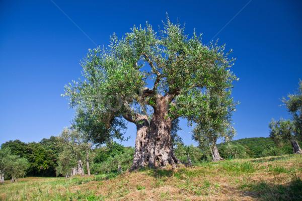 Olijfboom oude Toscane Italië boom hout Stockfoto © tiero