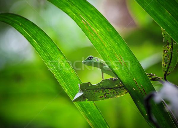 Kertenkele görüntü yeşil borneo orman Stok fotoğraf © tiero