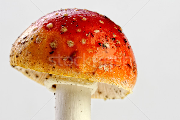 Amanita muscaria, fly agaric Stock photo © tiero