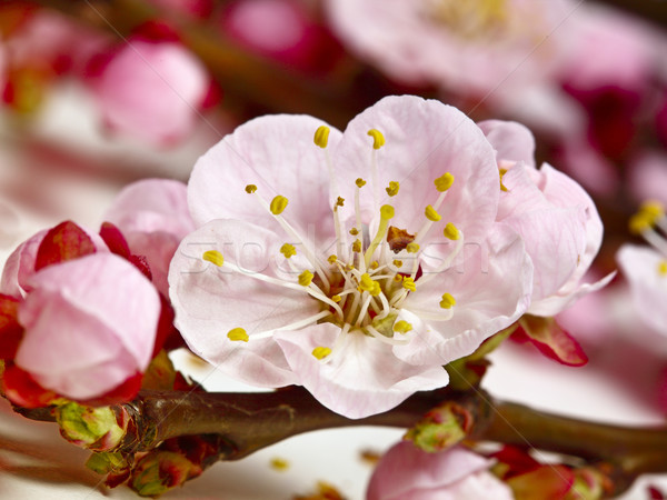cherry blossom detail Stock photo © tiero