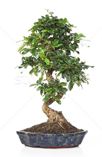 Bonsai witte klassiek plant pot geïsoleerd Stockfoto © tiero