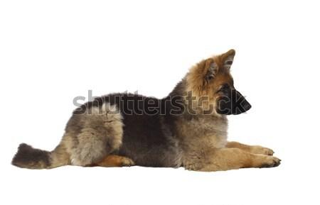 puppy of german shepard Stock photo © tiero