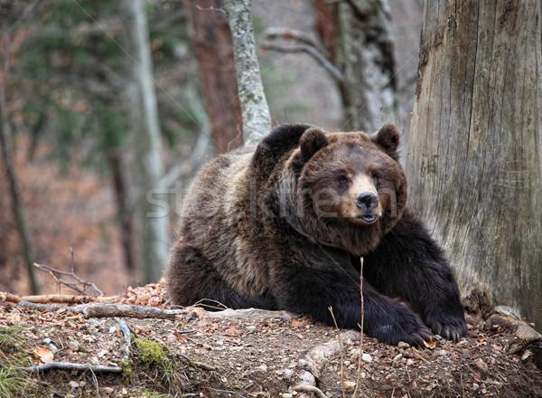 bear portrait Stock photo © tiero