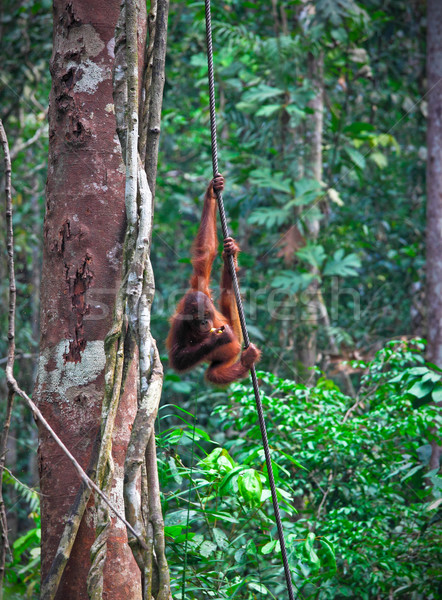 orangutang in rainforest Stock photo © tiero