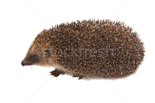 European Hedgehog Stock photo © tiero