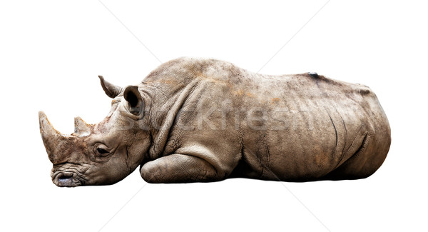 rhino on white background Stock photo © tiero