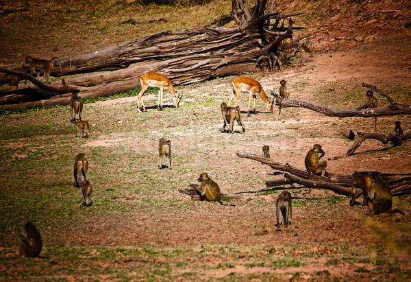 impala and baboon Stock photo © tiero