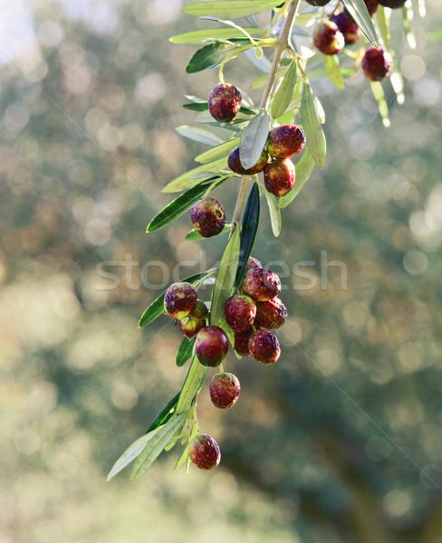olive tree Stock photo © tiero