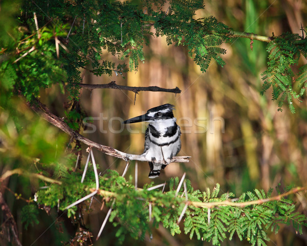 Pied Kingfisher Stock photo © tiero