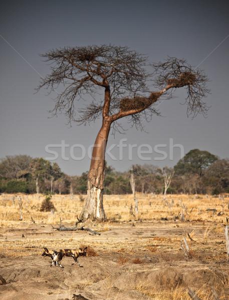 wild dogs and baobab tree Stock photo © tiero