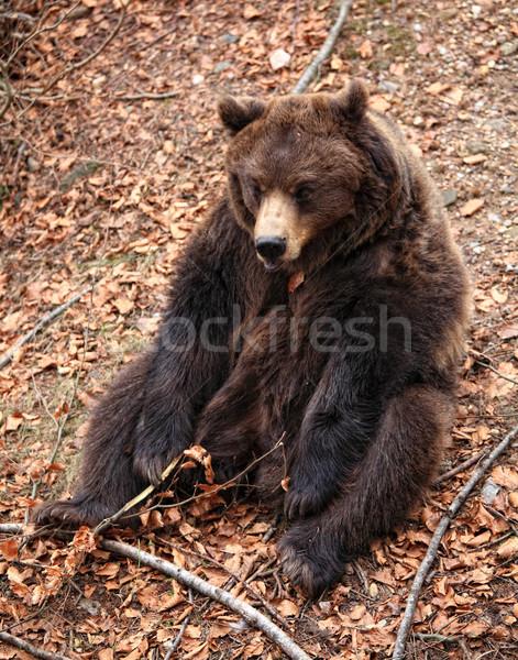 brown bear portrait Stock photo © tiero