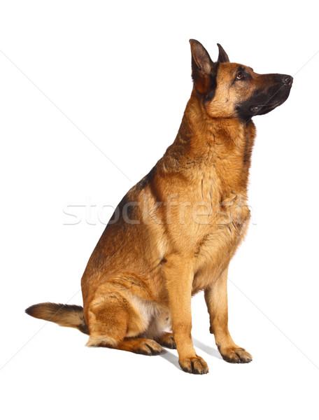 german shepard Stock photo © tiero