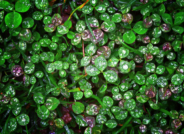 clover  wet Trifolium background Stock photo © tiero