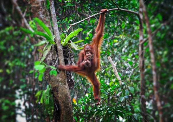 orangutang in action Stock photo © tiero