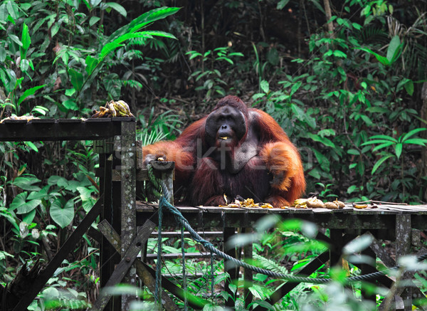 big male of orangutan Stock photo © tiero