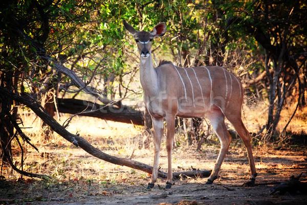 肖像 公園 ザンビア 動物 アフリカ サファリ ストックフォト © tiero