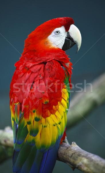 True parrots Stock photo © tiero
