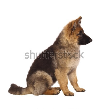 puppy of german shepard Stock photo © tiero