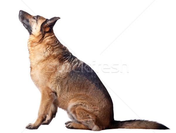 german shepherd Stock photo © tiero