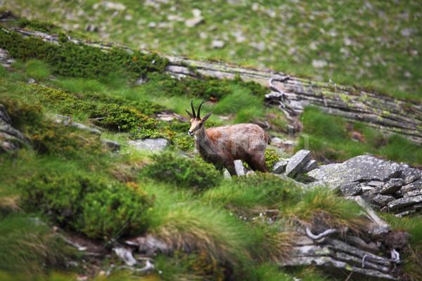 wild chamois on alps Stock photo © tiero