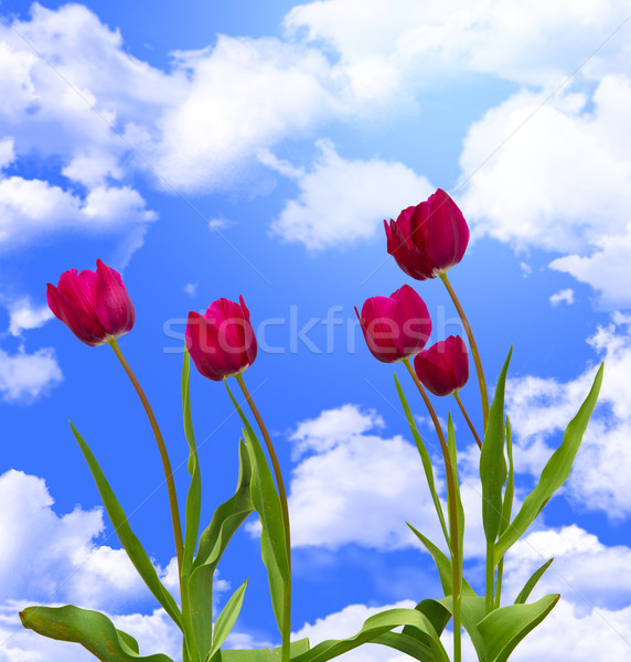 tulip flowers  Stock photo © tiero