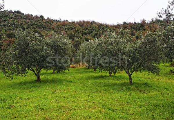 Olajfa csoport zöld mező fa égbolt Stock fotó © tiero