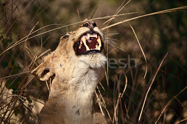 lioness Stock photo © tiero