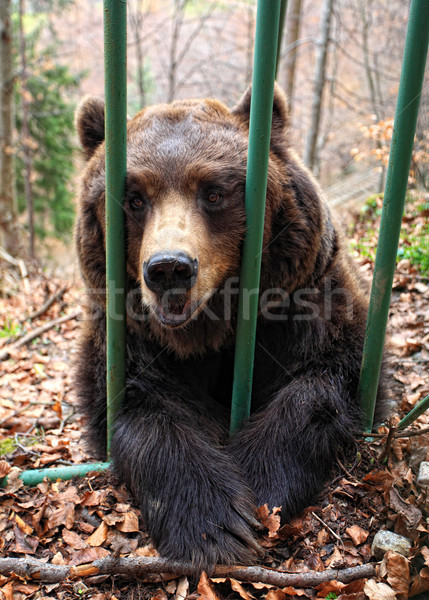 brown bear in a cage Stock photo © tiero