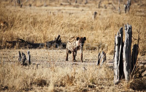 Hyäne Park Sambia Natur Afrika Safari Stock foto © tiero