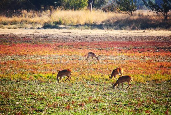 公園 ザンビア 動物 アフリカ サファリ ストックフォト © tiero