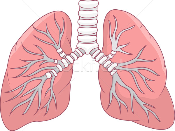 Human lung illustration Stock photo © tigatelu
