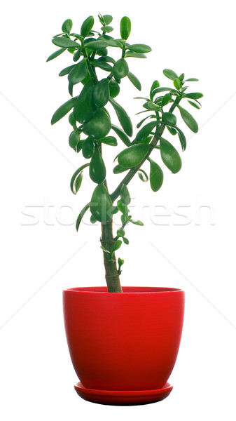 Jade tree Stock photo © timbrk