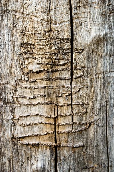 Wood Worm Tracks Stock photo © timbrk
