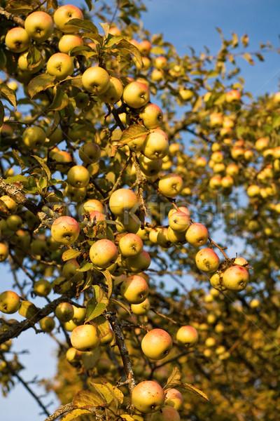 Obfity zbiorów jabłka rok żywności liści Zdjęcia stock © timbrk