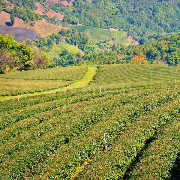 Chá plantação aldeia folha fazenda Ásia Foto stock © timbrk