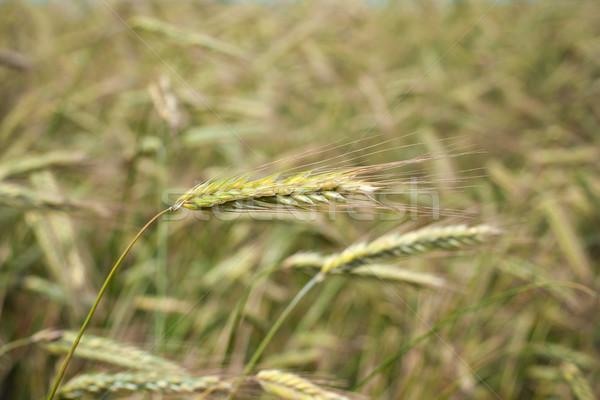 Wheat ear Stock photo © timbrk