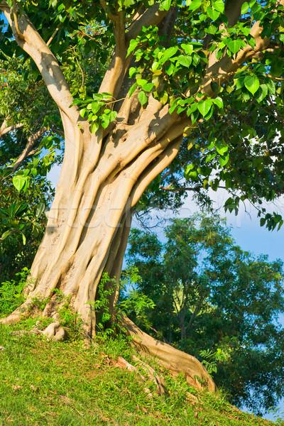Tropical árvore vegetação exuberante parque madeira paisagem Foto stock © timbrk