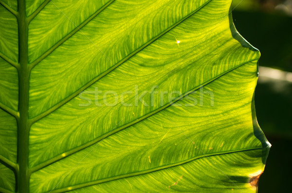 Streaks of green leaf Stock photo © timbrk