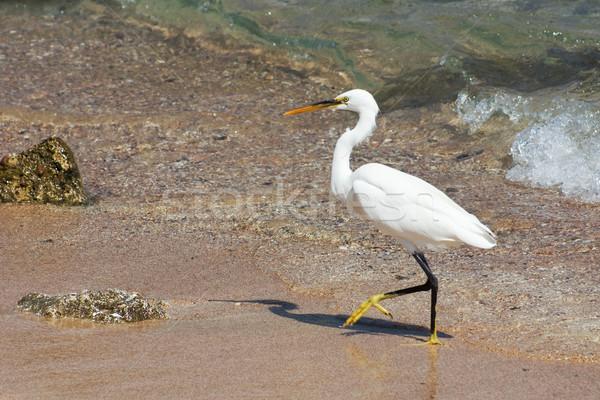 Walking Egret Stock photo © timbrk