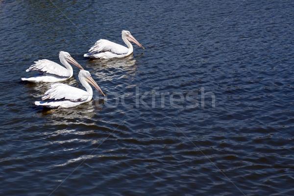 Three pelicans Stock photo © timbrk