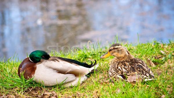 Ducks Stock photo © timbrk